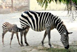 Zebre Bioparco di Roma - Foto di Massimiliano Di Giovanni