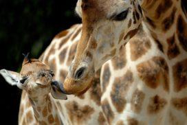 Giraffe Bioparco di Roma - Foto di Massimiliano Di Giovanni