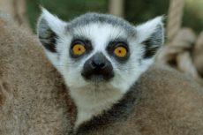 Lemure Bioparco di Roma - Foto di Massimiliano Di Giovanni