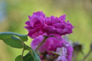 """""""La Fortuniana"""" - il giardino delle rose"""